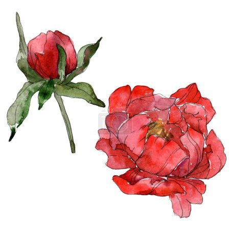 Photo for Red peonies isolated on white. Watercolor background illustration set. - Royalty Free Image