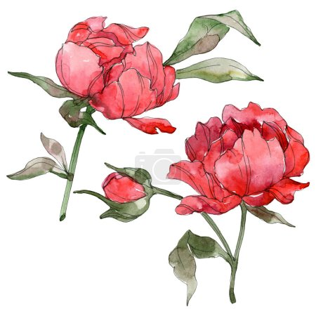 Red peonies isolated on white. Watercolor background illustration set.