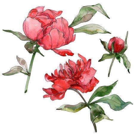 Photo pour Pivoines rouges isolées sur blanc. Ensemble d'illustration de fond aquarelle . - image libre de droit