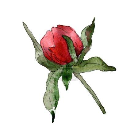 Foto de Peonías rojas aisladas sobre fondo blanco. Elemento de ilustración de fondo acuarela - Imagen libre de derechos