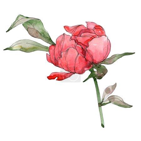 Photo pour Pivoines rouges isolées sur blanc. Aquarelle fond illustration élément . - image libre de droit