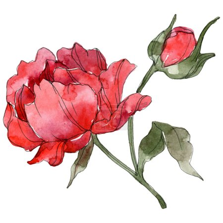 Photo pour Red peonies isolated on white. Watercolor background illustration set. - image libre de droit