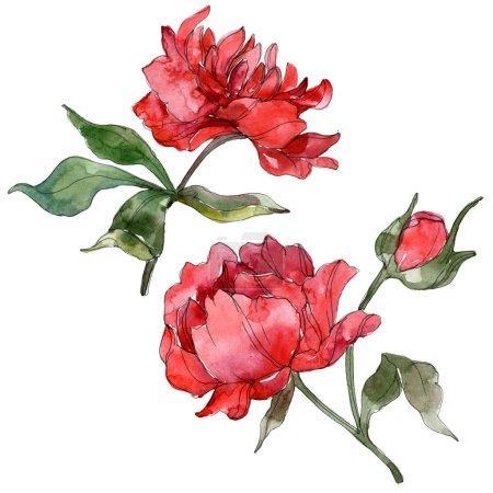 Foto de Peonías rojas aisladas sobre fondo blanco. Conjunto de ilustración de fondo acuarela - Imagen libre de derechos