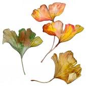 """Постер, картина, фотообои """"Листья зеленые желтых ginkgo билоба. Листья растений ботанического сада листва. Акварель фон иллюстрации набора. Акварель рисования моды акварель изолированы. Изолированные гинкго иллюстрации элемент"""""""