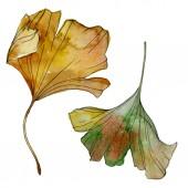 """Постер, картина, фотообои """"Листья зеленые желтых ginkgo билоба. Листья растений ботанического сада листва. Акварель фон иллюстрации набора. Акварель рисования моды акварель изолированы. Изолированные гинкго иллюстрации элемент."""""""