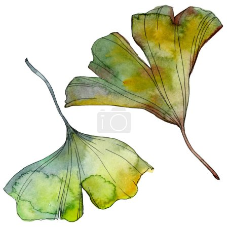 Photo for Ginkgo biloba leaf. Leaf plant botanical garden floral foliage. Watercolor background illustration set. Watercolour drawing fashion aquarelle isolated. Isolated ginkgo illustration element. - Royalty Free Image
