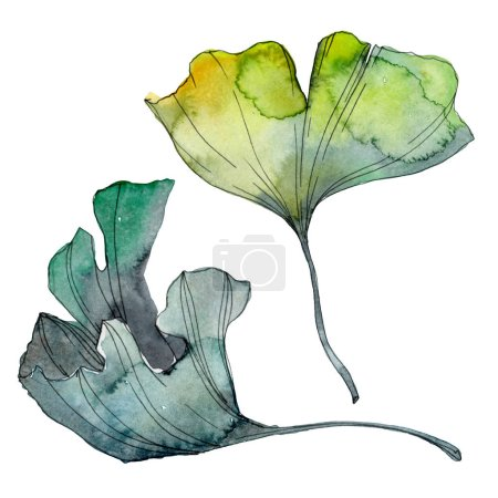 Photo for Ginkgo biloba leaf. Leaf plant botanical garden floral foliage. Watercolor background illustration set. Watercolour drawing fashion aquarelle isolated. Isolated ginkgo illustration element. - Royalty Free Image