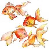 """Постер, картина, фотообои """"Акварель водной красочные Золотые рыбки, изолированные на белом иллюстрации элементы."""""""
