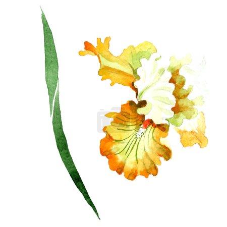Photo pour Iris blanc orangé fleur botanique florale. Feuille sauvage de printemps fleur sauvage isolée. Ensemble d'illustration de fond aquarelle. Aquarelle dessin mode aquarelle. Élément d'illustration d'iris isolé . - image libre de droit