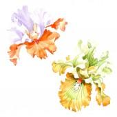 """Постер, картина, фотообои """"Цветочные ботанические цветок оранжевый белый Ирис. Дикие весны листьев Уайлдфлауэр изолированы. Акварель фон иллюстрации набора. Рисования акварелью моды акварель. Изолированные Ирис иллюстрации элемент."""""""
