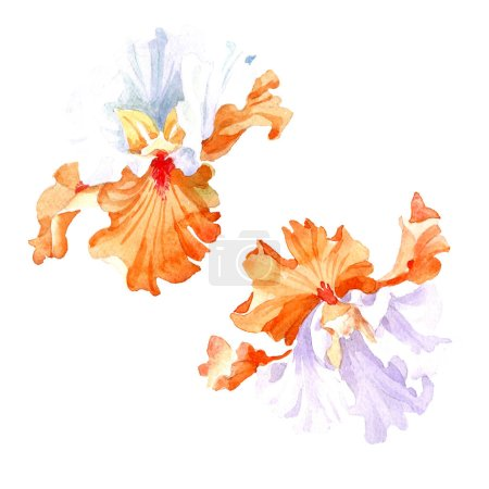 Orange white iris floral botanical flower. Wild spring leaf wildflower isolated. Watercolor background illustration set. Watercolour drawing fashion aquarelle. Isolated iris illustration element.