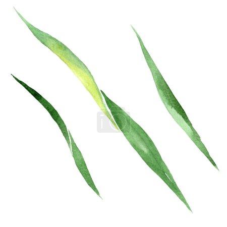 Photo pour Iris feuille verte fleur botanique florale. Feuille sauvage de printemps fleur sauvage isolée. Ensemble d'illustration de fond aquarelle. Aquarelle dessin mode aquarelle. Elément d'illustration de feuille isolé . - image libre de droit