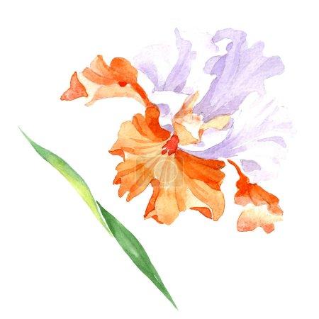 Photo pour Fleur botanique floral iris blanc orange. Wildflower de feuille de printemps sauvage isolé. Aquarelle de fond illustration ensemble. Dessin aquarelle de mode aquarelle. Élément d'illustration iris isolé. - image libre de droit