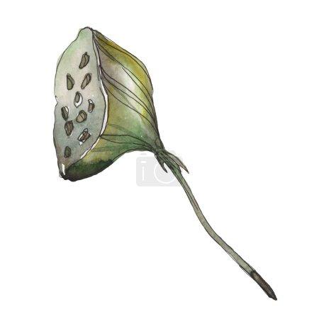 Photo pour Lotus foral fleur botanique. Feuille sauvage de printemps fleur sauvage isolée. Ensemble d'illustration de fond aquarelle. Aquarelle dessin mode aquarelle. Élément d'illustration de lotus isolé . - image libre de droit