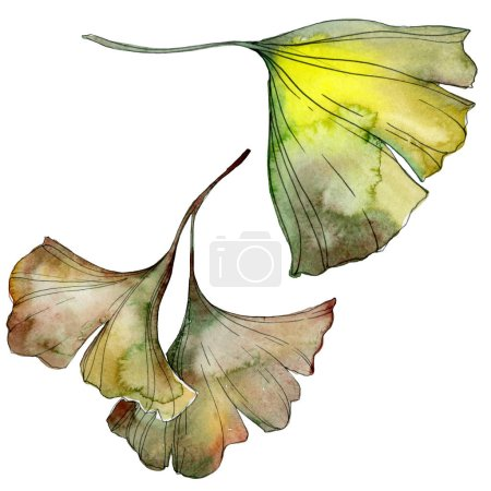Photo for Green and yellow ginkgo biloba leaves isolated on white. Watercolor background illustration set. - Royalty Free Image