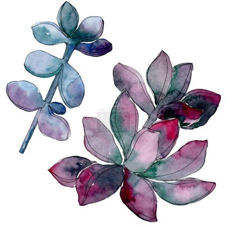 Photo pour Fleur botanique florale succulente. Feuille sauvage de printemps fleur sauvage isolée. Ensemble d'illustration de fond aquarelle. Aquarelle dessin mode aquarelle. Elément d'illustration succulent isolé . - image libre de droit