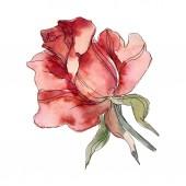 """Постер, картина, фотообои """"Красная роза цветочные ботанические цветок. Дикие весны листьев Уайлдфлауэр изолированы. Акварель фон иллюстрации набора. Рисования акварелью моды акварель. Элемент изолированных иллюстрация розы."""""""