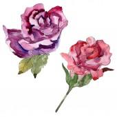 """Постер, картина, фотообои """"Красный и фиолетовый розовые цветочные ботанического цветы. Дикие весны листьев Уайлдфлауэр изолированы. Акварель фон иллюстрации набора. Рисования акварелью моды акварель. Элемент изолированных иллюстрация розы."""""""