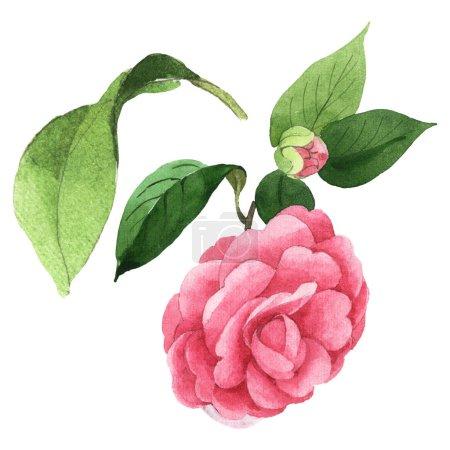 Photo pour Fleurs roses de camélia avec des feuilles vertes d'isolement sur le blanc. Ensemble d'illustration de fond d'aquarelle. - image libre de droit