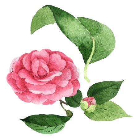 Photo pour Pink camellia flowers with green leaves isolated on white. Watercolor background illustration set. - image libre de droit
