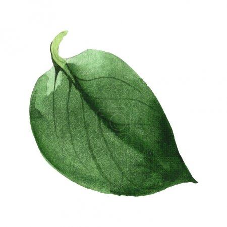 Photo pour Feuille verte de Camellia d'isolement sur le blanc. Élément d'illustration de fond d'aquarelle. - image libre de droit