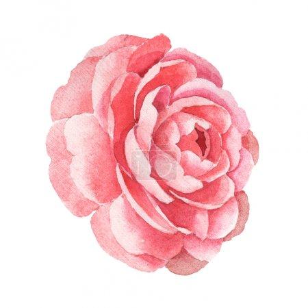Photo pour Fleur de camélia rose isolée sur blanc. Aquarelle fond illustration élément . - image libre de droit
