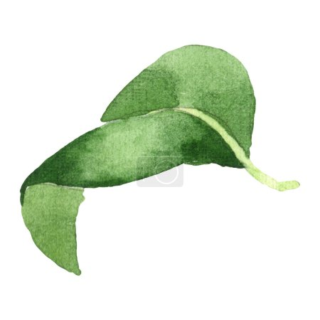 Photo for Camellia green leaf isolated on white. Watercolor background illustration element. - Royalty Free Image