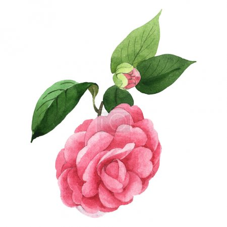 Foto de Pink camellia flowers with green leaves isolated on white. Watercolor background illustration set. - Imagen libre de derechos