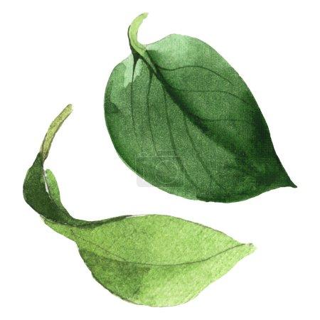 Photo pour Feuilles vertes de Camellia d'isolement sur le blanc. Élément d'illustration de fond d'aquarelle. - image libre de droit
