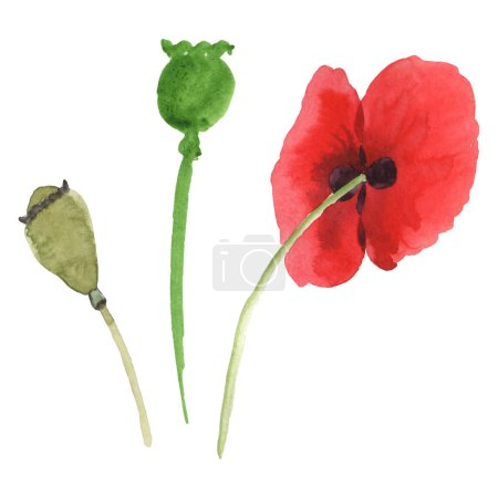 Photo for Red poppies isolated on white. Watercolor background illustration set. - Royalty Free Image