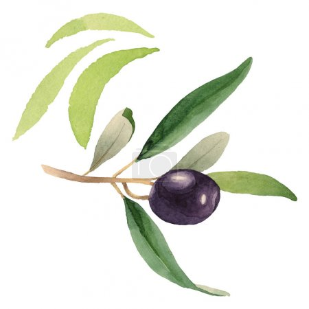 Foto de Fresh olive with green leaves isolated on white watercolor background illustration elements - Imagen libre de derechos