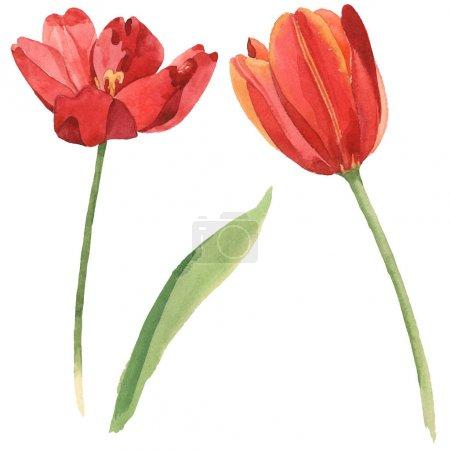 Photo pour Tulipes rouges avec la feuille verte d'isolement sur le blanc. Ensemble d'illustration de fond d'aquarelle. - image libre de droit