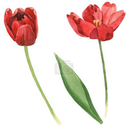 Photo for Red tulips with green leaf isolated on white. Watercolor background illustration set. - Royalty Free Image