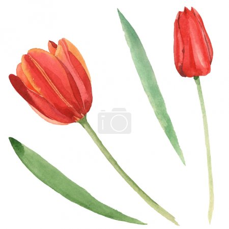 Foto de Red tulips with green leaves isolated on white. Watercolor background illustration set. - Imagen libre de derechos
