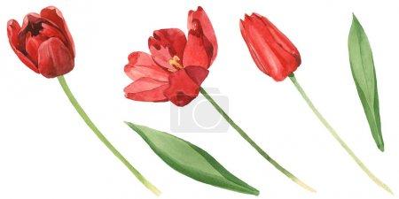 Photo pour Tulipes rouges avec des lames vertes d'isolement sur le blanc. Ensemble d'illustration de fond d'aquarelle. - image libre de droit