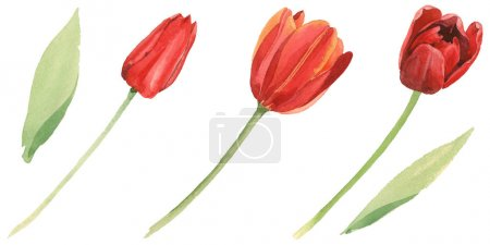 Photo for Red tulips with green leaves isolated on white. Watercolor background illustration set. - Royalty Free Image