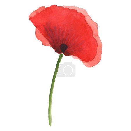 Photo for Red poppy isolated on white. Watercolor background illustration element. - Royalty Free Image