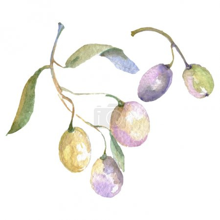 Foto de Olive branches with green fruit and leaves. Watercolor background illustration set. - Imagen libre de derechos