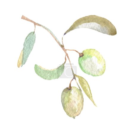 Foto de Olive branch with green fruit and leaves isolated on white. Watercolor background illustration set. - Imagen libre de derechos