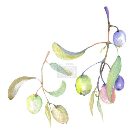 Photo for Olive branches with green fruit and leaves. Watercolor background illustration set. - Royalty Free Image