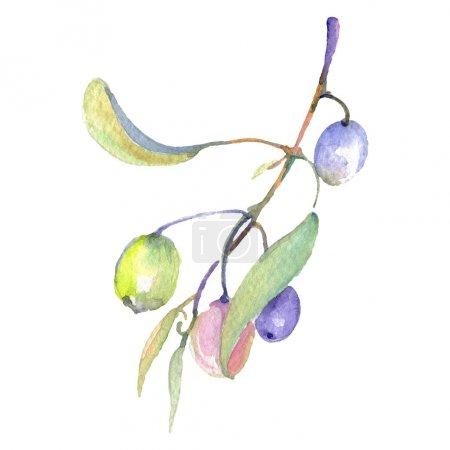 Photo pour Branchement d'olivier avec le fruit vert et les feuilles d'isolement sur le blanc. Ensemble d'illustration de fond d'aquarelle. - image libre de droit
