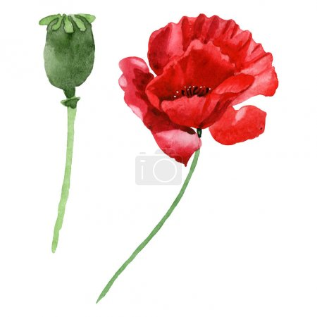 Photo for Red poppy flower with green bud isolated on white. Watercolor background illustration set. - Royalty Free Image