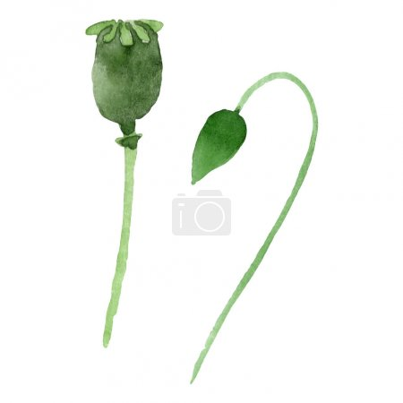 Photo for Green poppy buds isolated on white. Watercolor background illustration set. - Royalty Free Image