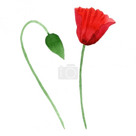 Photo pour Red poppy flower with green bud isolated on white. Watercolor background illustration set. - image libre de droit