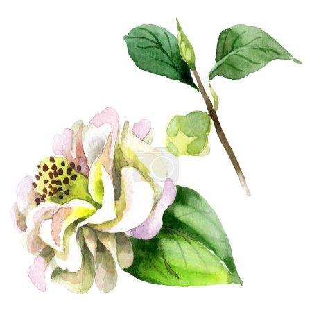 Foto de Flores de camella blanca con hojas verdes aisladas sobre blanco. Juego de fondo acuarela. - Imagen libre de derechos