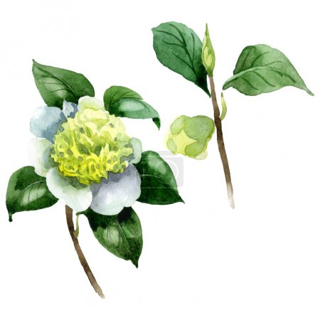 Foto de White camellia flower with green leaves isolated on white. Watercolor background set. - Imagen libre de derechos