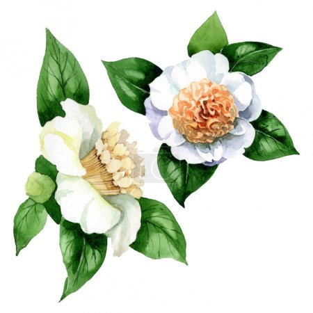 Photo pour White camellia flowers with green leaves isolated on white. Watercolor background set. - image libre de droit