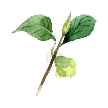 Photo pour Bourgeon de Camellia avec des feuilles vertes isolées sur blanc. Ensemble de fond aquarelle . - image libre de droit