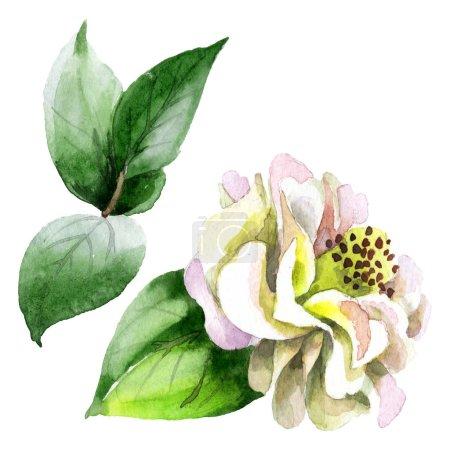 Photo pour La camélia blanche fleurit avec des feuilles vertes isolées sur blanc. Arrière-plan aquarelle. - image libre de droit