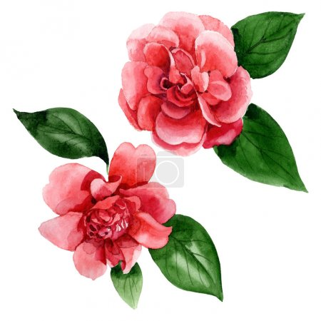 Photo for Pink camellia flowers with green leaves isolated on white. Watercolor background illustration elements. - Royalty Free Image